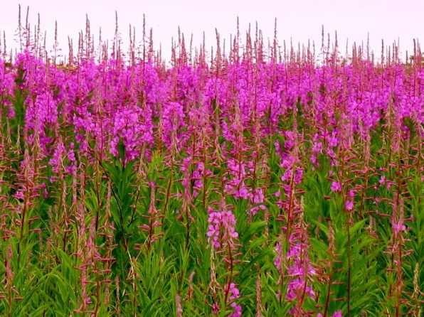 поле с цветами